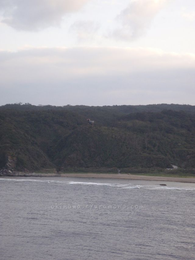 辺戸岬から見えるヤンバルクイナ