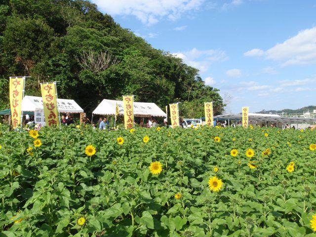 北中城村名物ひまわり畑