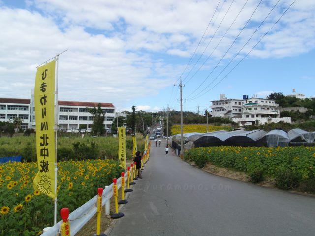 日本一早咲きのひまわり畑!