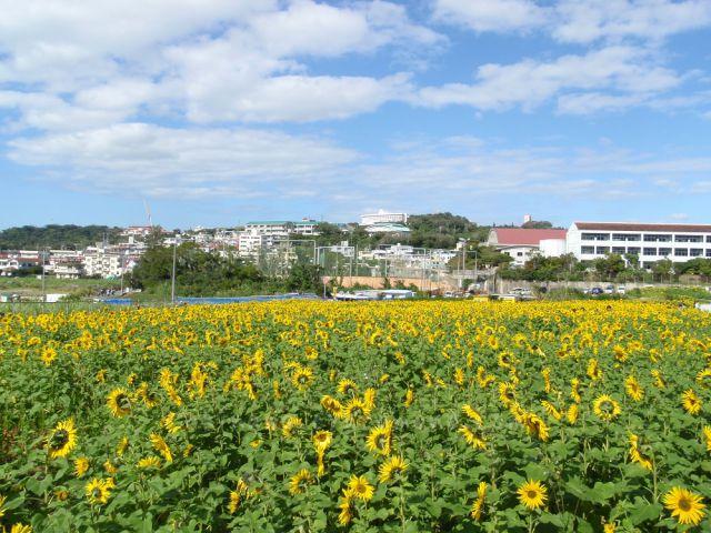ひまわり畑IN北中城