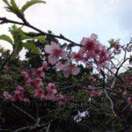 やえせ桜まつり