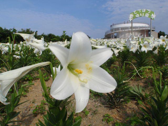 てっぽうゆり園に咲き誇るゆり